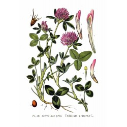 Nasiona koniczyny czerwonej (łąkowej) 1KG