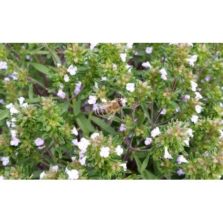 Nasiona cząbru ogrodowego