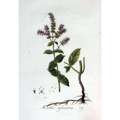 Nasiona mięta długolistna