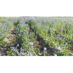 Nasiona żmijowca babkowatego