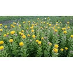 Nasiona chabru wielkokwiatowego