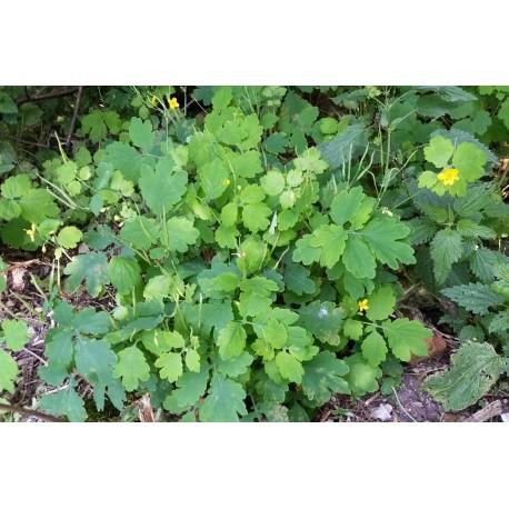 Nasiona glistnik jaskółcze ziele