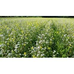Nasiona gorczycy białej
