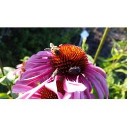 Nasiona jeżówka purpurowa