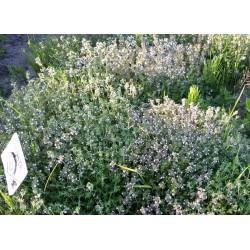 Nasiona tymianku właściwego WINTER