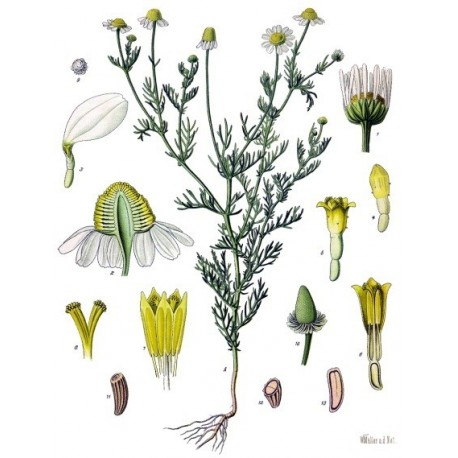 Nasiona rumianku pospolitego