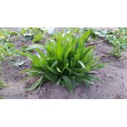 Nasiona babki lancetowatej