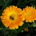 Nasiona pyłkodajnych